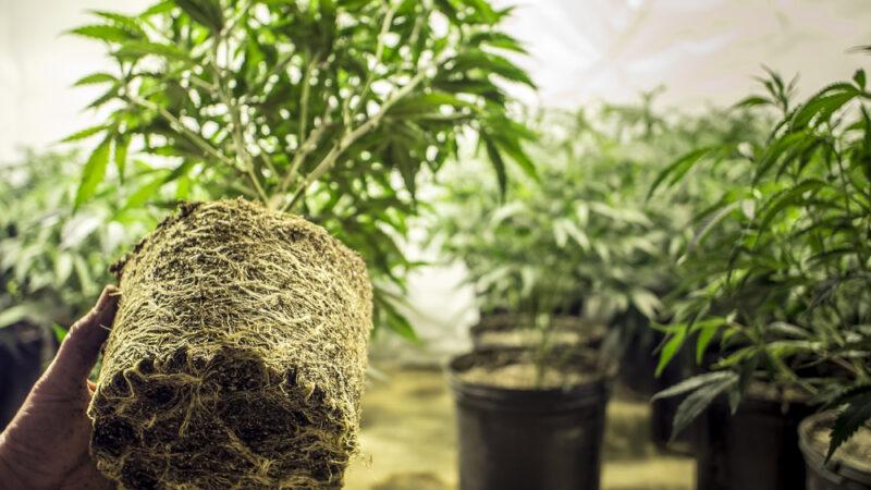 Come curare la cannabis in modo chirurgico